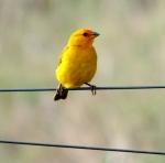 SB_Canary